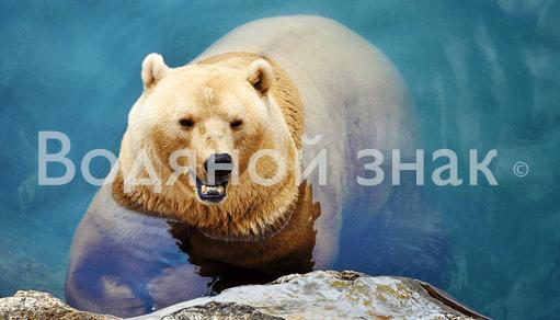 фотогафия с медведем водяной знак